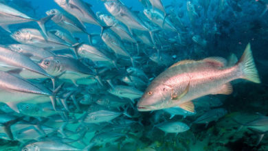South Atlantic Fishery Council Requires Catch-and-Release Devices
