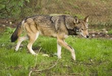 NC Governor Urges Protection of Red Wolves